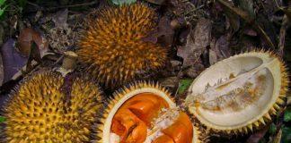 Kirsam dan Durian